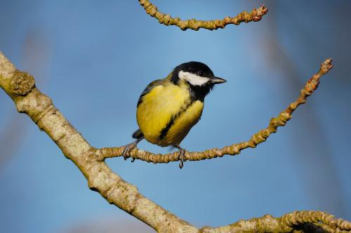 Great tit 5 Photograph Laurie Campbell.jpg_1550949