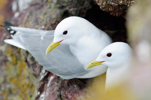 Kittiwake 31 Photograph by Laurie Campbell.jpg_155