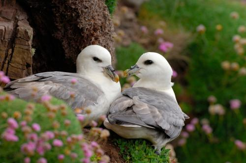 Fulmar 25 Photograph by Laurie Campbell.jpg_155086