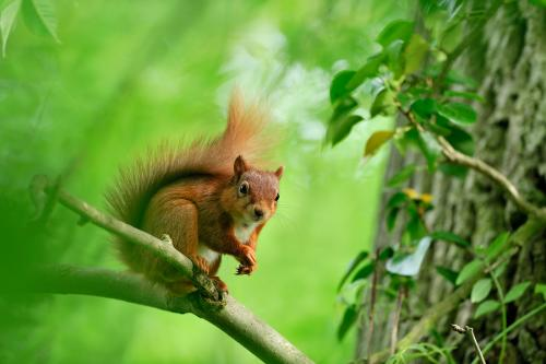 Red Squirrel 106 Photograph Laurie Campbell.jpg_15