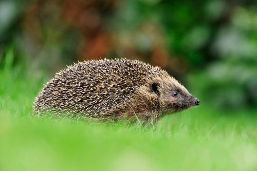 Hedgehog Photograph by Laurie Campbell