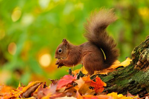 Red Squirrel 2796 Photograph Laurie Campbell.jpg_1