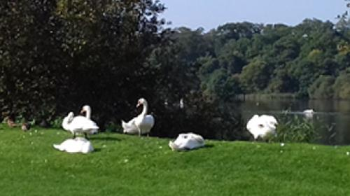 Swans at the lake in the Hirsel Country Park Coldstream Scottish