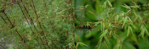 Drepanostachyum microphyllum.png_1568642239