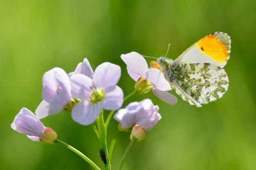 orange-tip butterfly 6117 L.Campbell.jpg_155095190