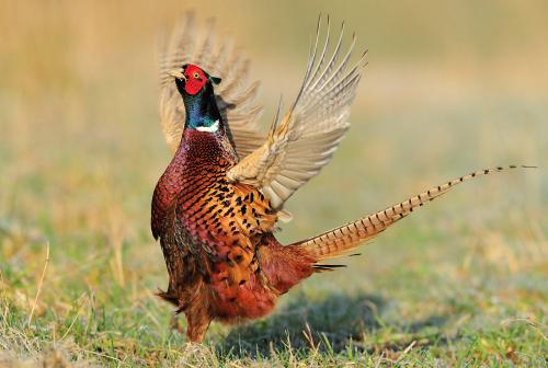 PheasantPhotograph by Laurie Campbell