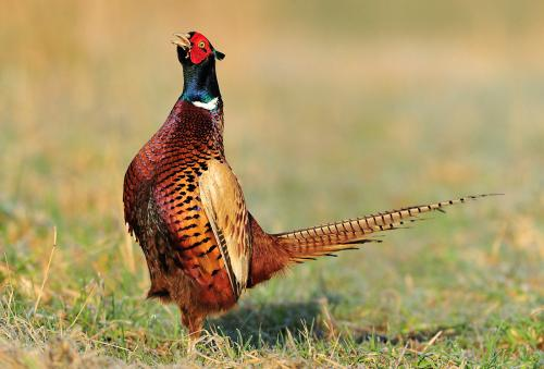 Pheasant Photograph by Laurie Campbell