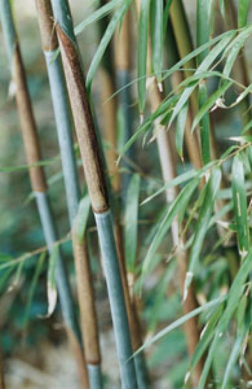 Yushania maculata.jpg_1568642237
