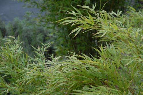 Chimonobambusa tumidissinoda.jpg_1568642239