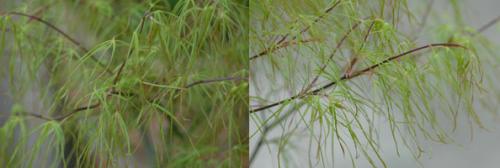 Acer palmatum Kinshi.png_1568641332