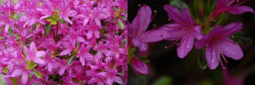 Rhododendron Hatsugiri.png_1568640587