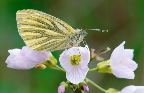 Butterfly green-veined white Photograph by Laurie Campbell