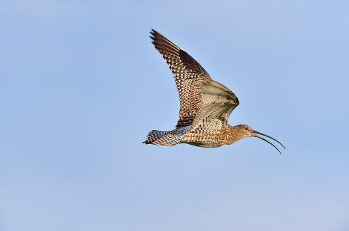 Curlew 3234 Photograph Laurie Campbell.jpg_1550860