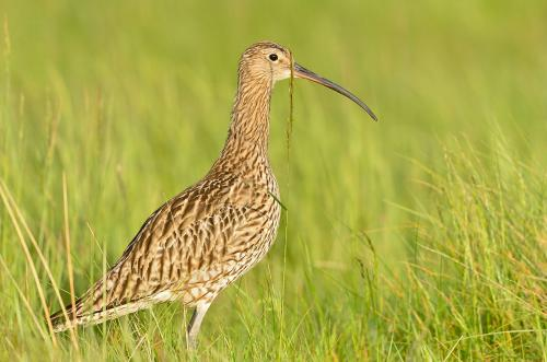 Curlew 3204 Photograph Laurie Campbell.jpg_1550860