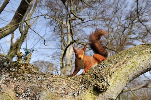Red Squirrel Photograph Laurie Campbell (2).jpg_15