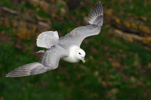 Fulmar 17 Photograph by Laurie Campbell.jpg_155086