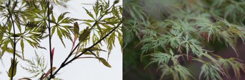 Acer palmatum.png_1568640585