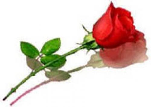 valentine-rose.jpg