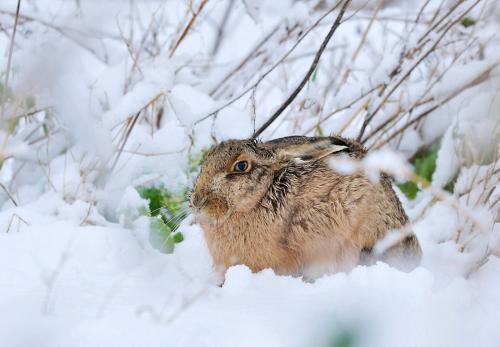 Brown Hare Photograph by Laurie Campbell