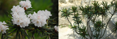 Rhododendron roxieanum.png_1568640586