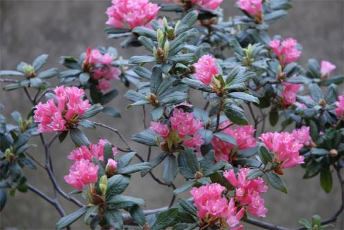 Rhododendron Razorbill.jpg_1568640586