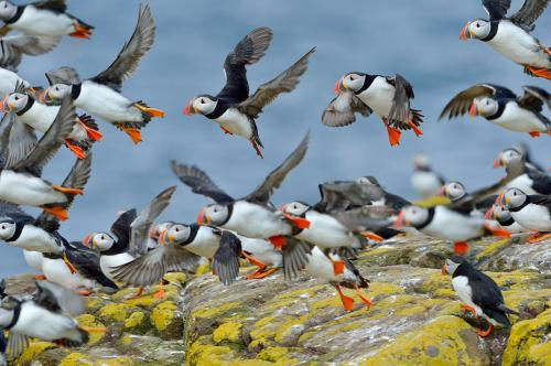 Puffins Photograph by Laurie Campbell.jpg_15509473