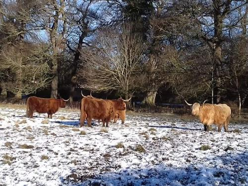 Hirsel Country Park Highland Cattle in Winter