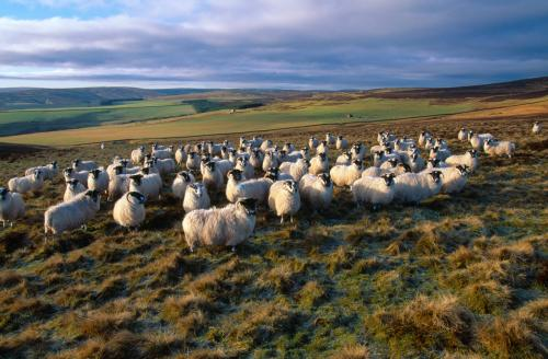 Black-faced Sheep Laurie Campbell.jpg_1552042535