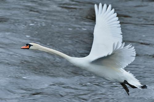 Swan - Mute Photograph by Laurie Campbell