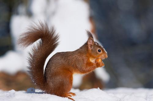 Red Squirrel Photograph Laurie Campbell.jpg_155085