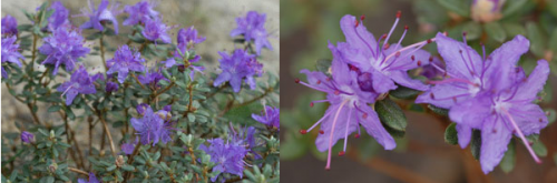 Rhododendron impeditum.png_1568640586