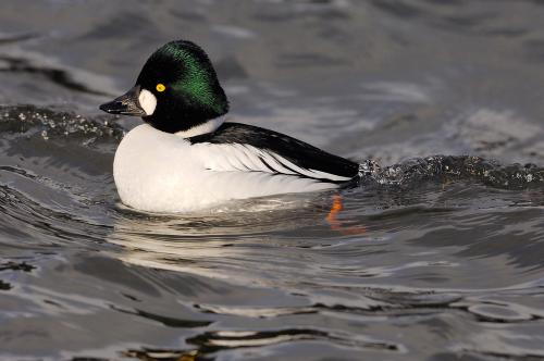 Goldeneye 16 Photograph Laurie Campbell.jpg_155095