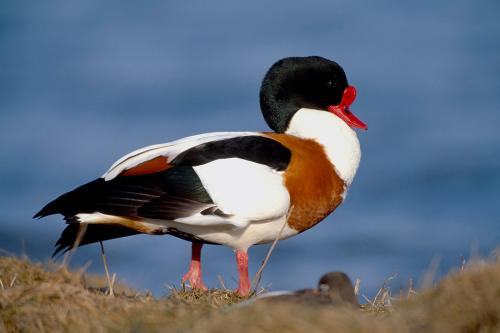 Shelduck 1 Photograph by Laurie Campbell.jpg_15510