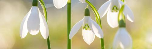 UK_plant-finder-bulbs-snowdrop_header.jpg_15786642