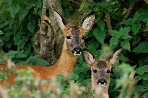 Roe Deer Laurie Campbell.jpg_1552042291