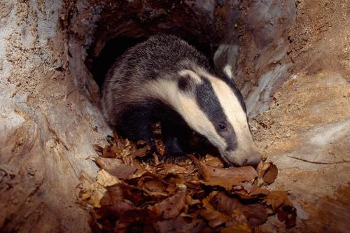 Badger Laurie Campbell Photograph