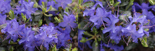Rhododendron.png_1568640586