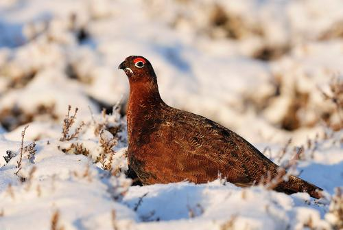Red Grouse 3901 Photograph Laurie Campbell.jpg_155