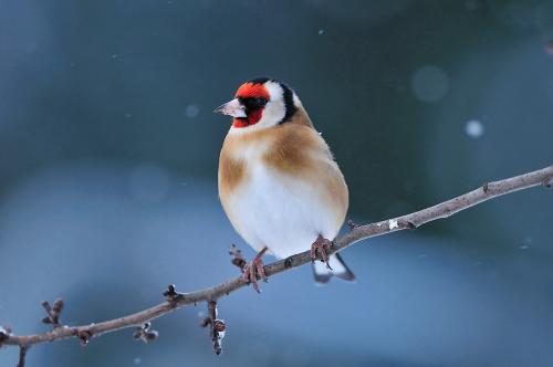 Goldfinch 4940 Photograph by Laurie Campbell.jpg_1