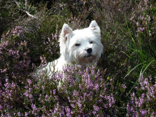 Skye a West Highland Terrier.Well behaved pets welcome